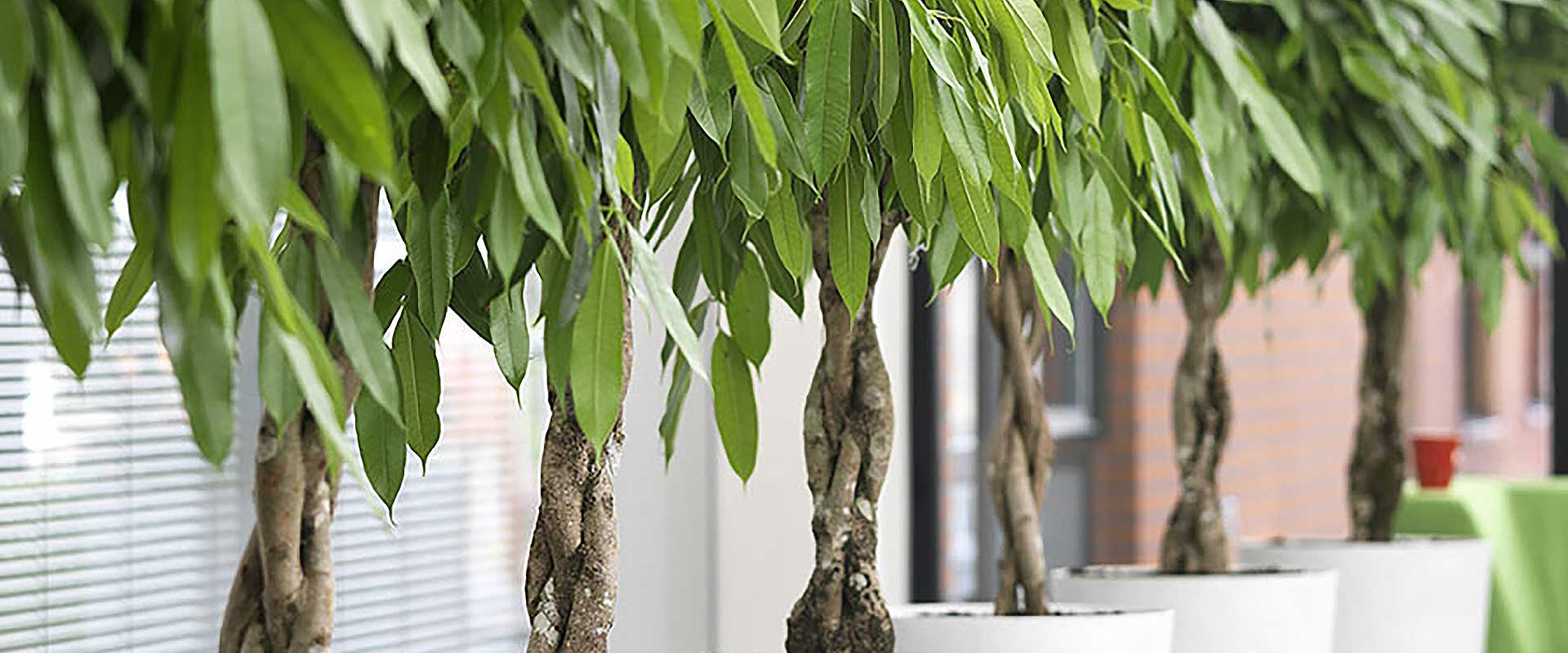 Potted trees in office environment